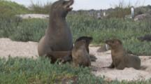 Sea Lions On Beach, Three pups with adult