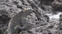Marine Iguana Walks Over Lava Rock