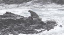 Marine Iguana rests on lava rocks, waves behind