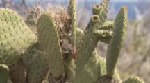 Finch Brings Plant Material To Nest Built On Cactus
