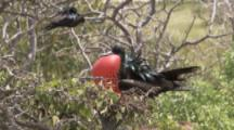 Male Magnificent Frigatebird Displays Enlarged Red Gular Pouch