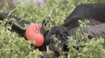 Male Magnificent Frigatebirds Display Enlarged Red Gular Pouch, Female Joins Them