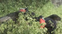 Male Magnificent Frigatebirds Display Enlarged Red Gular Pouch