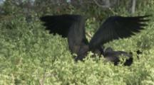 Male Magnificent Frigatebird, Joins Mate On Nest