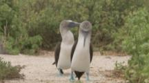 Blue-footed Boobies In Courtship Display