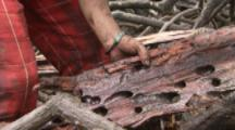 Person Splits Wood In Mangrove Forest To Collect Shipworms Known As Tamilok