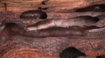 Cross Section Of Wood Shows Holes From Shipworms Known As Tamilok