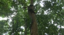 Water Monitor Lizard Climbs High In Tree In Forest Near Beach
