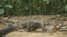 Water Monitor Lizards In Forest near Beach