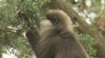 Purple-faced Langur Monkey In Forest
