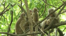 Group of Toque Macaques Groom in trees At Ruins