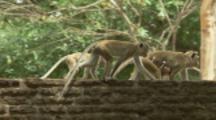 Toque Macaques climb walls of Ruins