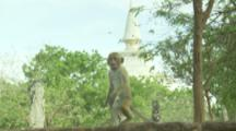 Toque Macaque stand on wall At Ruins,stupa in background