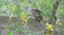 Toque Macaques climb down flowering tree At Ruins