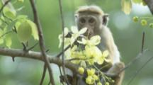 Toque Macaques in tree At Ruins