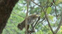 Toque Macaque climbs in tree At Ruins
