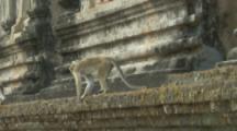 Toque Macaques walk along wall At Ruins