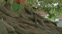 Cobra On Roots Of Trees