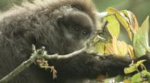 Purple-faced Langur Monkey With Baby In Forest