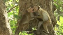 Toque Macaques play in tree At Ruins