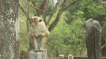 Toque Macaque sits on wall At Ruins