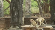 Toque Macaques climb on structures At Ruins