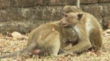 Toque Macaques wrestle At Ruins