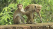 Toque Macaques run along wall At Ruins