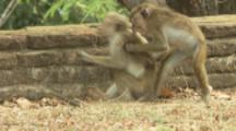 Toque Macaques wrestle on wall At Ruins