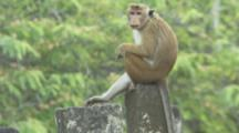 Toque Macaque perched on wall At Ruins