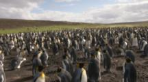 King Penguin colony,high angle crane shot tilt panorama
