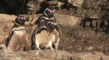 Magellanic Penguins jump from rocky ledge