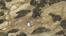 Single Rockhopper Penguin Makes Its Way Through Fur Seal Colony