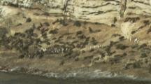 Wide View,Rockhopper Penguins Make Their Way Through Fur Seal Colony