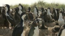 Imperial Shags In Nesting Colony with single rockhopper penguin