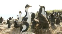 Imperial Shags In Nesting Colony,with one rockhopper penguin