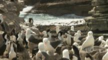 Sea Birds, Shags And Albatross On Rocky Coast