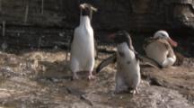 Rockhopper Penguins and Albatross under cliff stream