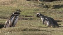 Magellanic Penguin colony,two pairs interact,yelling at each other