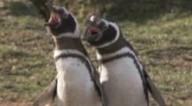 Magellanic Penguins,pair calling,possibly courtship display