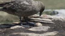 Brown Skua With Penguin Egg