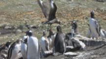 Brown Skua Lands Among Gentoo Penguins,Stealing Eggs