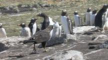 Striated Caracara Grabs Dead Gentoo Penguin Chick,Adult penguin defends it