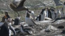 Brown Skua Steals Egg From Gentoo Penguin Colony