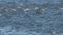 Leopard Seal Hunts Penguins Near Shore