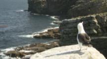 Pair Of Black-Browed Albatross On Cliff Edge