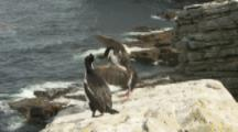 Imperial Shags Land On Cliff Edge