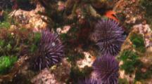 Purple Sea Urchins On Rocky Reef