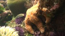 Ochre Sea Star And Purple Sea Urchins On Rocky Reef