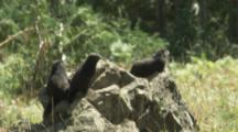 Several Vancouver Island Marmots On Rocky Outcrop In Meadow